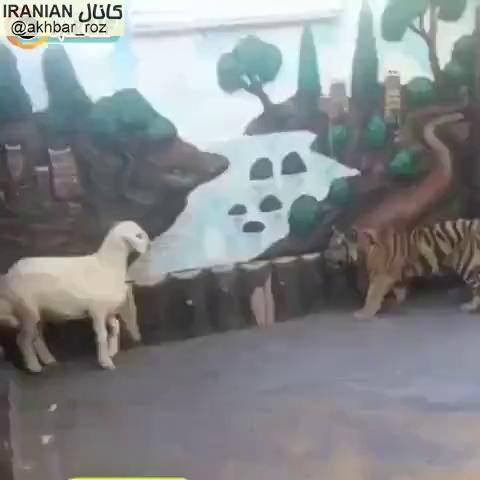 حمله گوسفند به ببر