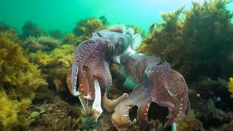 Diver captures cuttlefish courtship in Australia