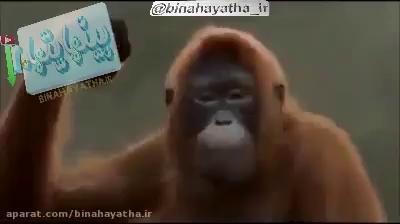 تاحالا میمون رقاص دیده بودید!!!