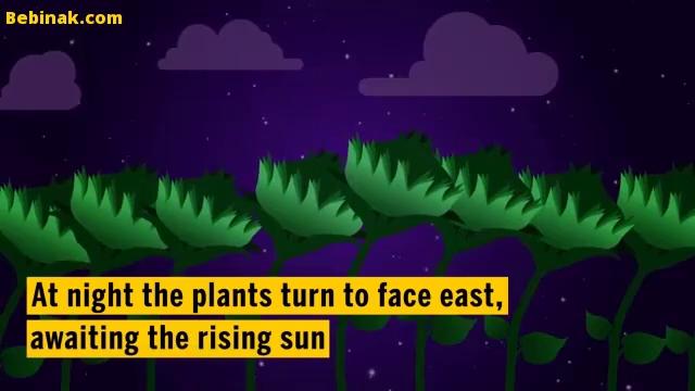 دلیل تعقیب خورشید توسط گل آفتابگردان