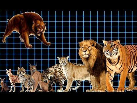 مقایسه سایز انواع گربه ها