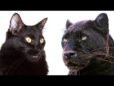 10 شباهت گربه های بزرگ و خانگی