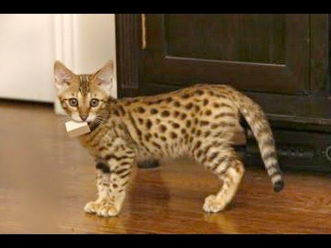 گربه خانگی که ادای گربه های بزرگ رو در میاره
