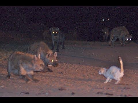 جنگ گربه های خانگی با گربه های بزرگ