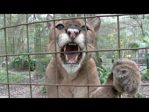 صداهای عجیب یک گربه وحشی