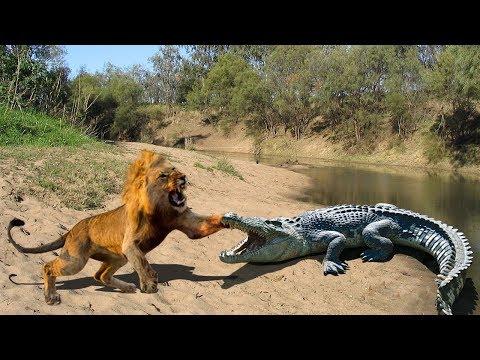 نبرد یک شیر با کروکودیل