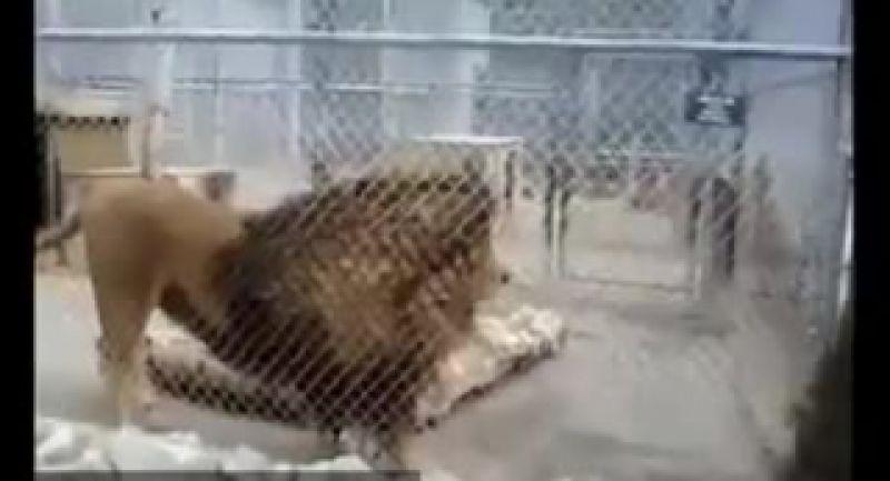 وحشتناک ترین و بزرگترین شیر نر دنیا.عجایب خلقت!
