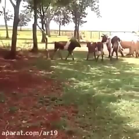 نبرد گاو و گوسفند خیلی جالبه حتما ببینید