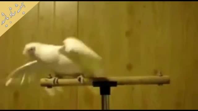 طوطی رقاص