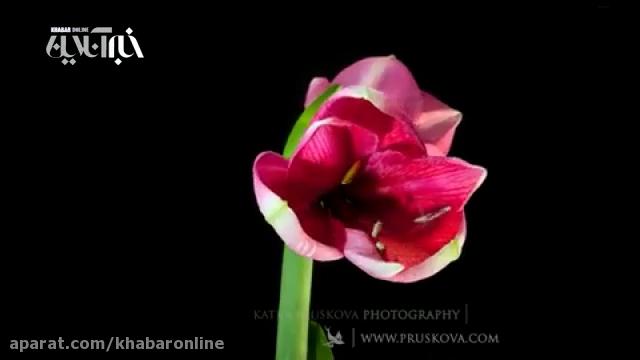 تصاویر خارق العاده از لحظه شکوفایی گل های گوناگون