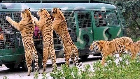 حمله ببر عصبانی رویال بنگال به اتوبوس توریستها