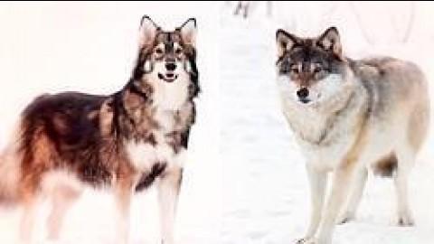 این 10 سگ واقعاً مانند گرگ ها به نظر می رسند
